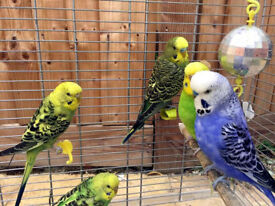 Baby Budgies 3 months old