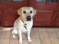 Meet Barney a 5 Year old male KC Registered Golden Labrador Fully Vacinated