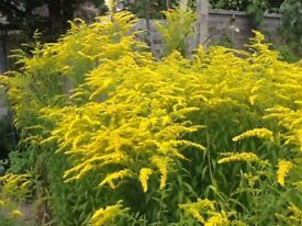 Golden rod and strawberry plants