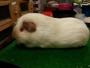 Guinea pigs: Purebred young adult males Magill Campbelltown Area Preview