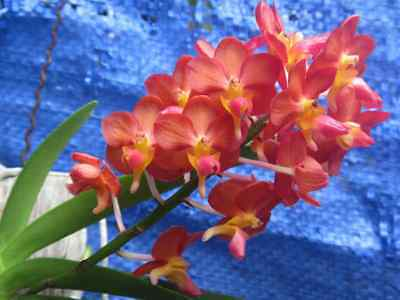 Bromlady Orchid Vanda Bangkok Sunset X V Wilass  Redish Orange  Colors  B S