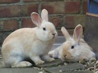 6 Baby rabbits seeking forever homes. 2 Males Left. Extremely tame - Crossbreeds - 5* Homes only