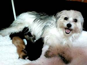 maltese x shih tzu puppies 1 girl i boy Bunya Mountains Dalby Area Preview