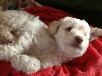 Toy Labradoodle Puppies chocolate or ivory