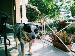 Free to good home 8 year old blue cattle dog. Beechworth Indigo Area Preview