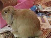 Gorgeous mini dwarf lop rabbit, house trained. Friendly can be housed inside or outside