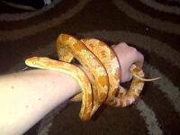 Male corn snake need to gone asap