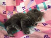 Male kitten cross British long hair