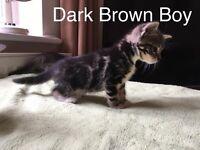 2 Male Kitten - Ready 3rd September