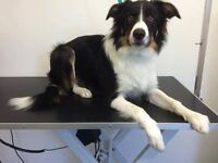 Year old male border collie