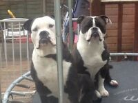 Old thyme bulldog puppies for sale