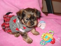 ♥♥ BEAUTIFUL LITTLE SHORKIE BABIES HAVE ARRIVED! ♥♥