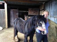 billy boy minnie cob stallion