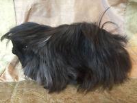 Peruvian female Guinea Pig