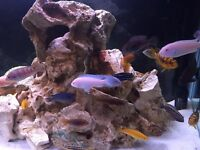 Below is a list of some Mbuna Malawi fish I have for sale due to closing down a tank.