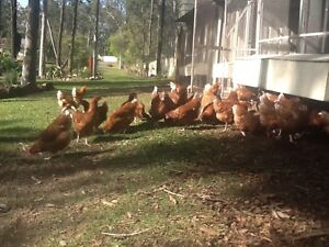 Genuine lsa Browns chickens POL Thornton Maitland Area Preview
