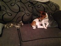 Jack russle for sale saddly have to rehome him due to a breakup