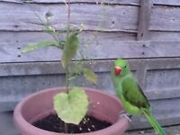 Green Indian Ringneck Baby