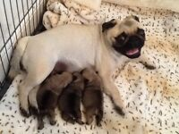 Beautiful fawn KC Registered pug puppies