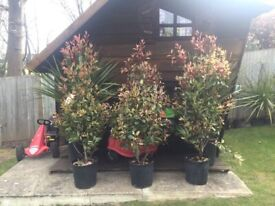 Price Reduced. Stunning Red Robin Photinias lovely and established about 5.5ft height