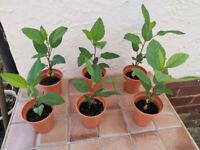 Gala Apple 🍎 Hardy Garden Fruit Trees £3 each,