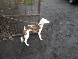 Collie greyhound pup for sale