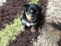 Yorkshire terriers one girl and one boy ready to leave Friday very playful
