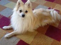 Stunning cream & white Pomeranian boy