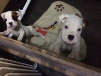 2 boxer puppys ready now