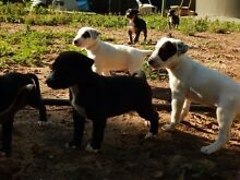 Staffy X Puppies Cape Jervis Yankalilla Area Preview