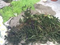 Large clump oxygenating weed (see photo) taken from small healthy pond. Collect only £3