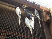 Hand tame budgie end cage