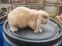 3 french lop girls