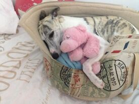 Female IT Professional and Whippet lazydog looking for a 2+ bed house near Lower Eearley