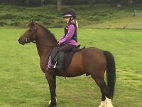 11.2hh Lead Rein or First Ridden Pony for Sale. Very safe child's pony