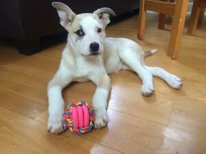 Husky puppy for rehoming