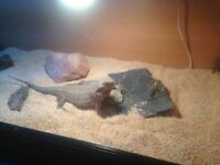 Bearded dragon for sale with everything else
