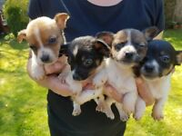 Miniature Jack Russell x Chihuahua Puppies 4 Boys / 3 Girls (looking for forever loving homes x )