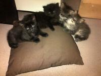 1 lovey kittens for sale