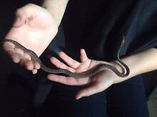 Coastal Carpet Python Hatchlings for sale! Ormond Glen Eira Area Preview