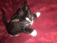 5lovely black and white kittens £50