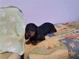 dachshund boy