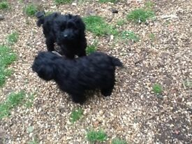 cockapoo Puppies f1