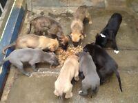 Lurcher pups deerhound wheaton bull grey