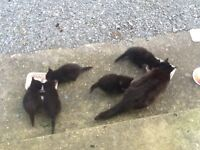 Free to good home five kittens and mother. Kittens just over 8 weeks old