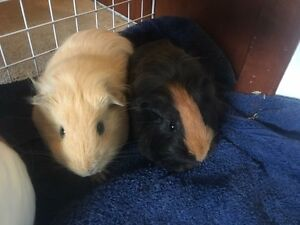 6month old Guinea pigs for adoption