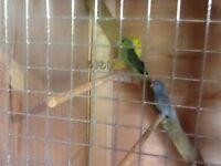 3 celestial parrotlets for sale
