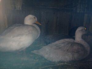 Call ducks trio Devonport Devonport Area Preview
