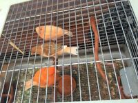 Lovely white/ orange canaries for sale.
