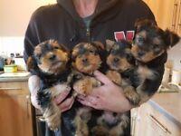 yorkshire terrier pups 3 boys 1 girl full pedigree kc reg. ready in 2 weeks